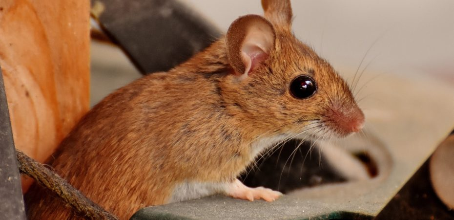 Что делать если в машине завелись мыши